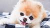 Boo, il cane più bello del mondo, è morto per un problema al cuore