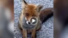 La chiacchierata tra la volpe e l'automobilista: il video commovente