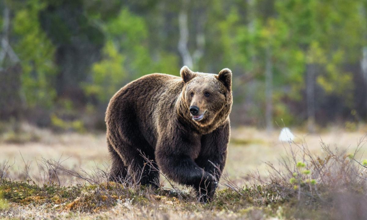 Come Abbattere Un Muro l'orso m49 fugge da un muro elettrificato: rischia l