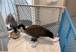 Un'oca rintraccia il suo fedele compagno nella clinica dove è ricoverato e gli fa visita