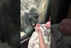 Oggi è la giornata mondiale del gorilla:la festeggiamo con un video commovente