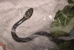 Sydney: comprano una busta di insalata e dentro sbuca un serpente