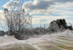 Invasione di ragni in Australia: milioni per le strade