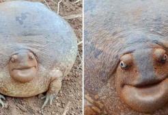 La rana che sembra una tartaruga è la cosa più simpatica che vedrai oggi