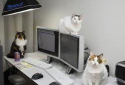 In Giappone un'azienda assume nove gatti