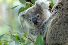 Koala a rischio estinzione: potrebbero scomparire del tutto entro il 2050
