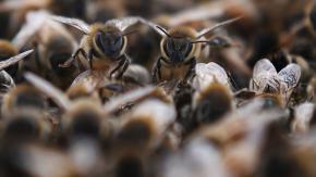 La Francia salva le api mettendo al bando i pesticidi