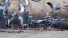 Troppi piccioni in città: a Lisbona una soluzione efficace ma costosissima