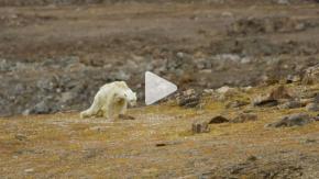 Il video straziante dell'orso polare che sta morendo di fame