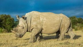 È morto Sudan, l'ultimo rinoceronte bianco maschio al mondo