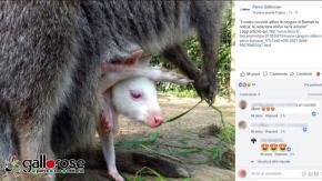 In Toscana è nato un rarissimo cucciolo di canguro albino