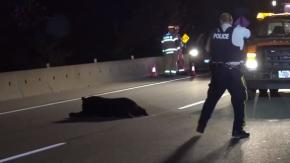 Un orso ferito si accascia in strada, la polizia gli spara freddamente