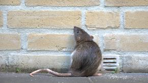 Parigi invasa dai topi: arriverebbero a 6 milioni