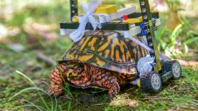 La tartaruga si rompe il guscio e lo zoo le costruisce la protezione con i Lego