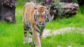 Tigre del Bengala uccisa con una trappola: ne restano solo 400