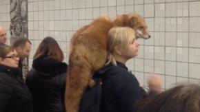 Volpe al collo al posto del collo di volpe: ecco il gesto di una ragazza di Mosca