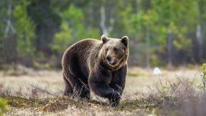 L'orso M49 fugge da un muro elettrificato: ora rischia l'abbattimento