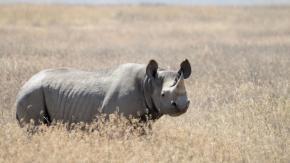 In Africa autorizzata la caccia ai rinoceronti in via d'estinzione: ecco perché