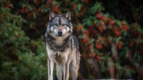 Il lupo solitario Takaya è stato ucciso da un cacciatore