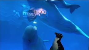 I pinguini incontrano i beluga nell'acquario chiuso per Covid-19: è subito amore