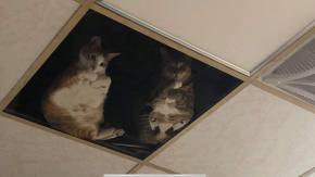 Negoziante installa un pannello a vetri nel soffitto: ora i suoi gatti passano tutto il giorno a fissarlo