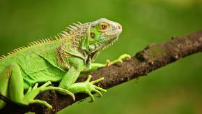 «Pericolo caduta iguane»: le autorità della Florida lanciano l'allarme