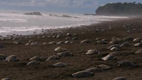 Umani in quarantena, le tartarughe tornano a nidificare sulle coste indiane