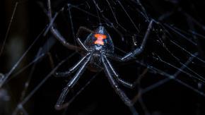 3 bimbi si fanno mordere da una vedova nera: volevano diventare Spider-Man