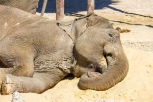 Vuole farsi un selfie con un elefante: l'animale lo uccide e i ranger lo abbattono