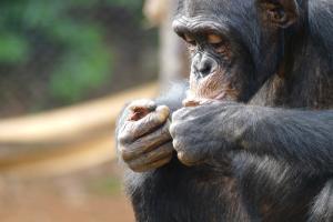 Belgio: allontanata dallo zoo per una relazione con lo scimpanze