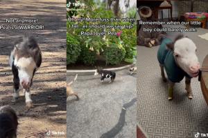 Cavallino abbandonato perché troppo piccolo: ora vive in casa con due cagnolini