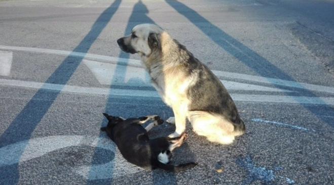 Roma, cane veglia il suo amico morto investito da un'auto sulla Tuscolana