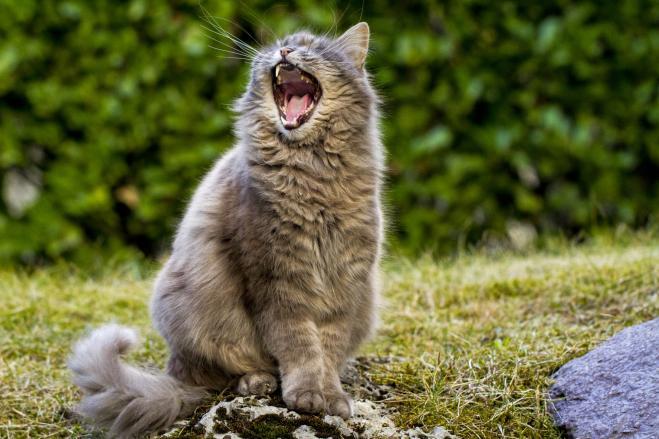 Giappone, il principale sospettato del tentato omicidio di un'anziana è un gatto