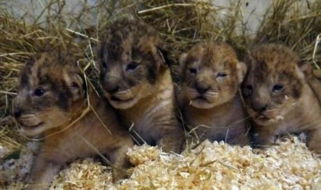 Lo zoo non può tenerli, 9 piccoli leoni uccisi