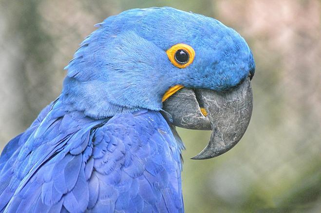 Il pappagallo blu del cartone animato quot rio si è estinto