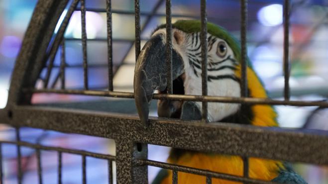Arrestato un pappagallo che faceva da palo a uno spacciatore