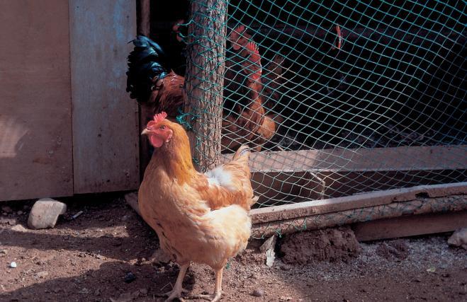 Australia: donna uccisa da un gallo