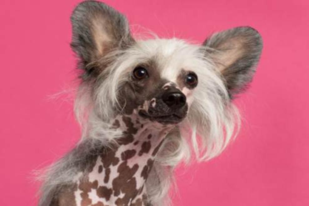 Ecco i cani pi brutti del mondo foto 1 di 6 radio 105 for Casa progetta il trotto del cane
