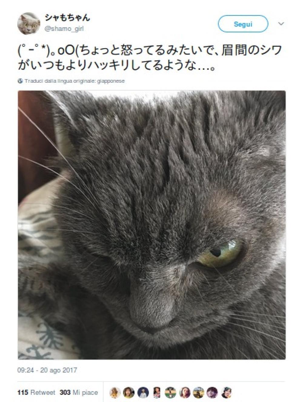 Vi Presentiamo Shamo Il Gatto Più Arrabbiato Del Mondo Foto 1 Di