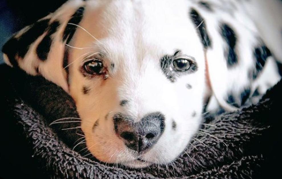 Ecco Wiley Il Cucciolo Di Dalmata Più Tenero Del Mondo Ha Il Naso